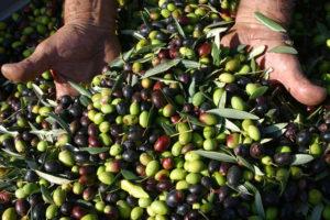 Le olive dei poderi di famiglia, a Monte Sante Marie naturalmente